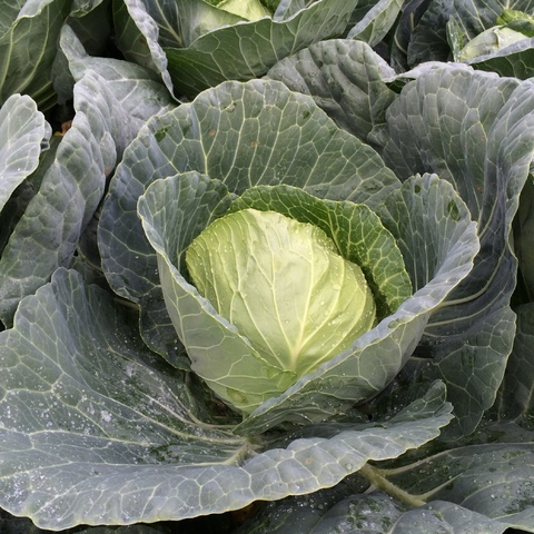 vegetable brassicas